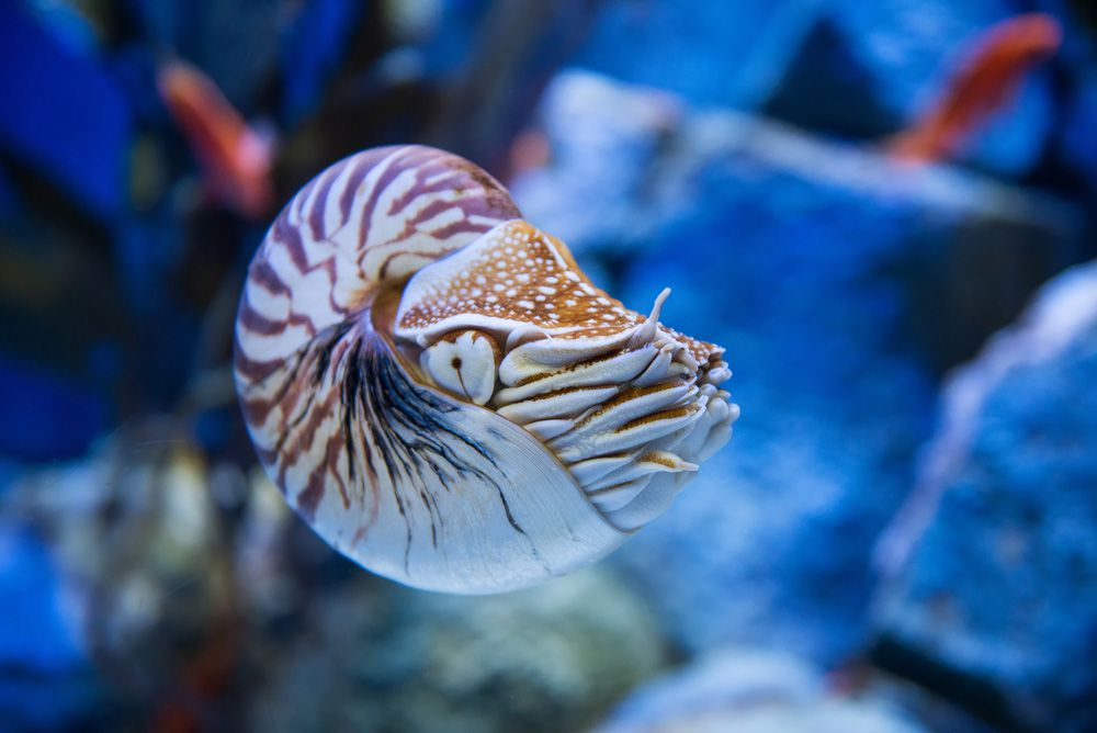A nautilis floating in water with rocks behind it