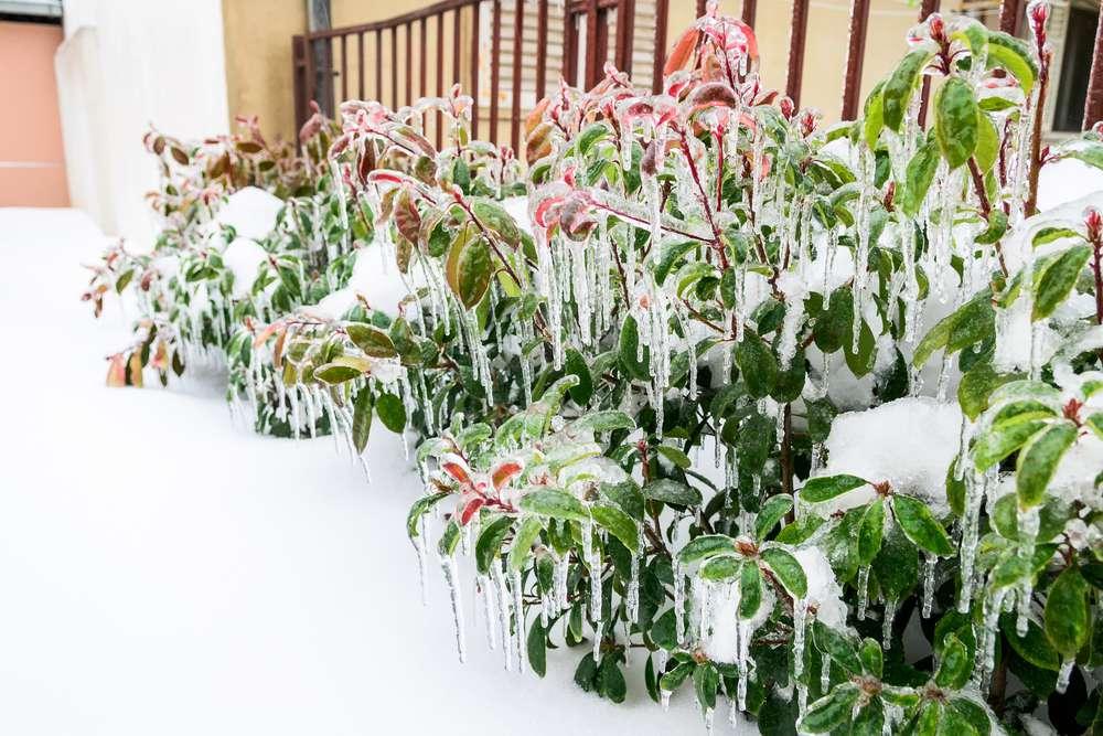 Snow on flowering shrubs