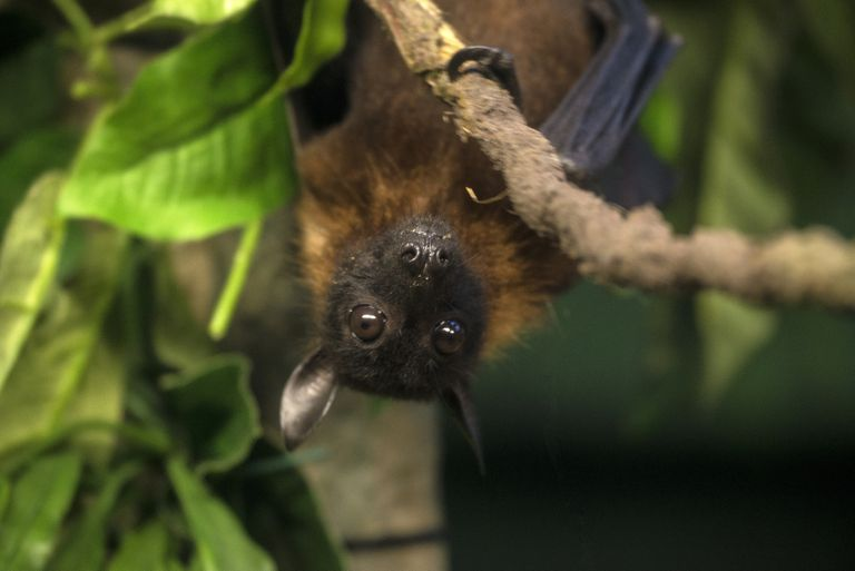 A bat hanging in a tree surrounded by green leaves.
