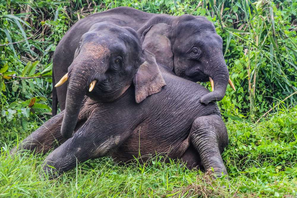 two elephants snuggling on the ground