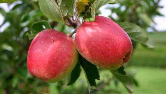 two red delicious apples hang on a tree