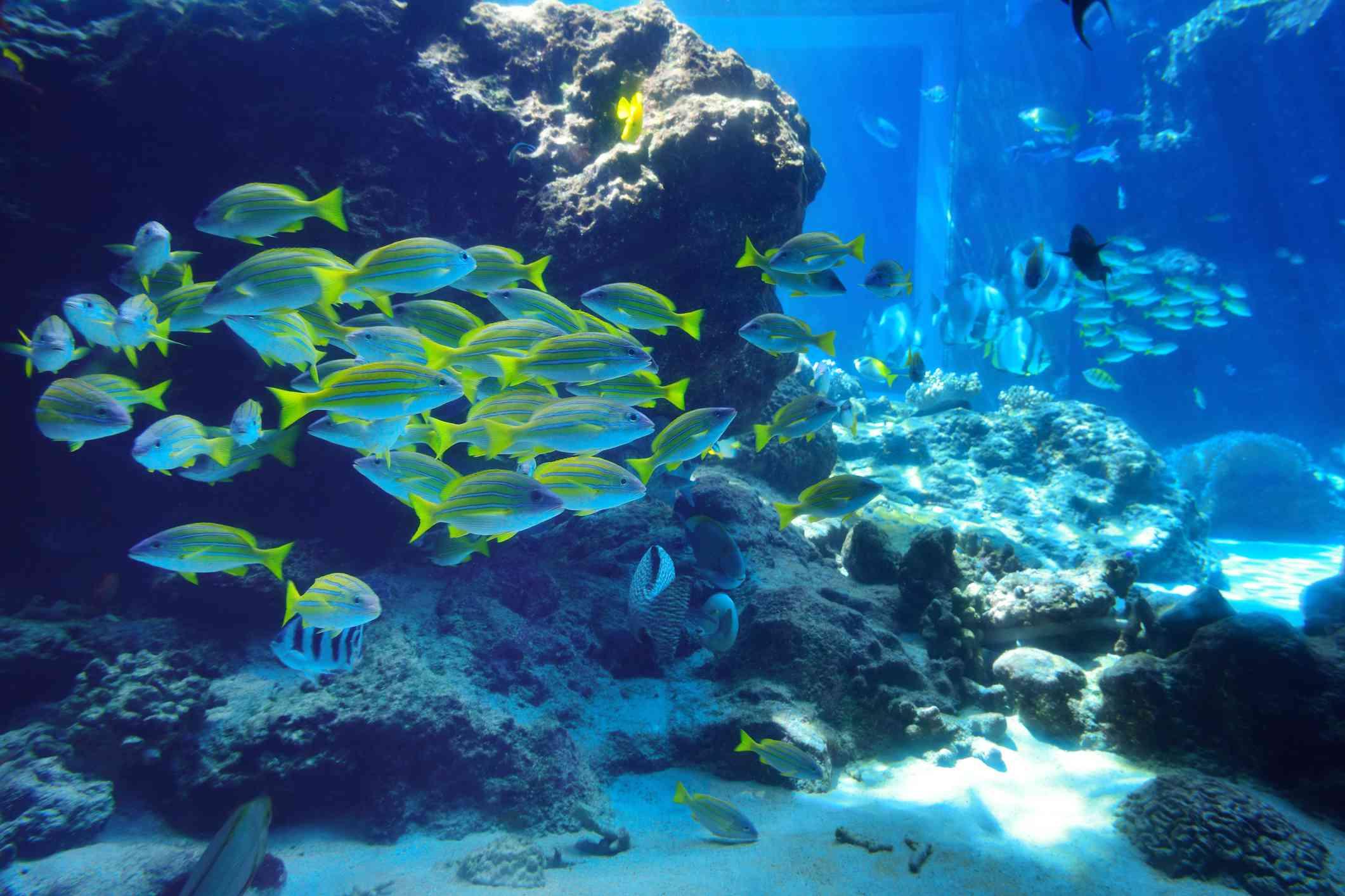School of blue and yellow fish near a rock and sandy bottom at Churaumi Aquarium