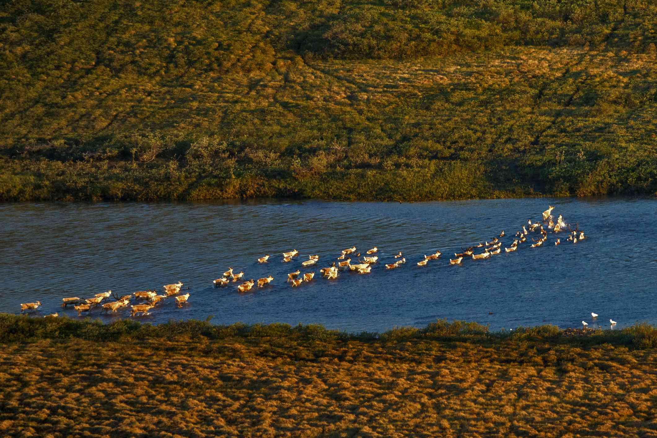 Migrating caribou swimming kokolik river