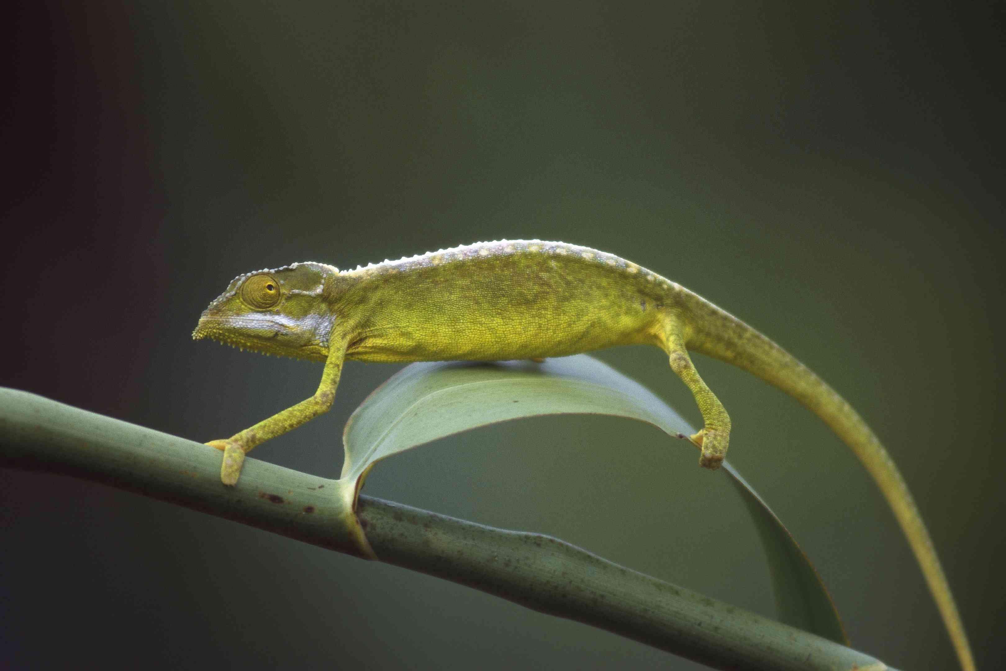 tiger chameleon on branch