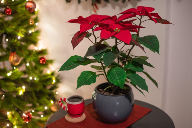 hero shot of red poinsettia next to christmas tree