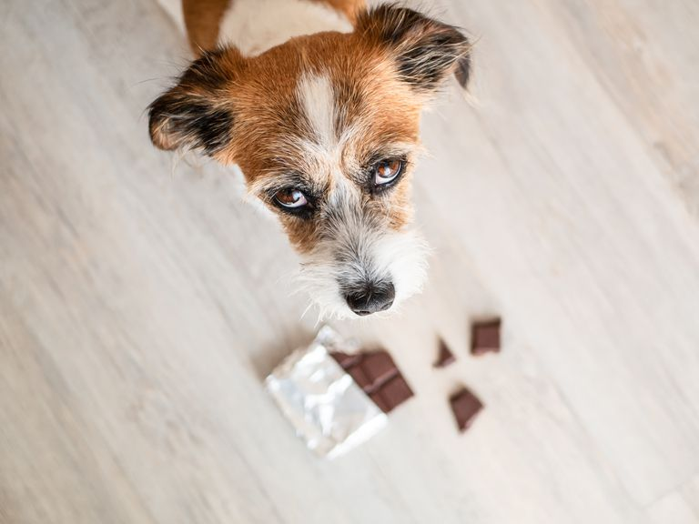 Little mongrel dog with chocolate