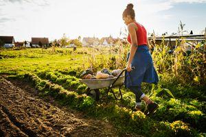 Urban Farmer Transporting Freshly Harvested Pumpkins In Wheelbarrow