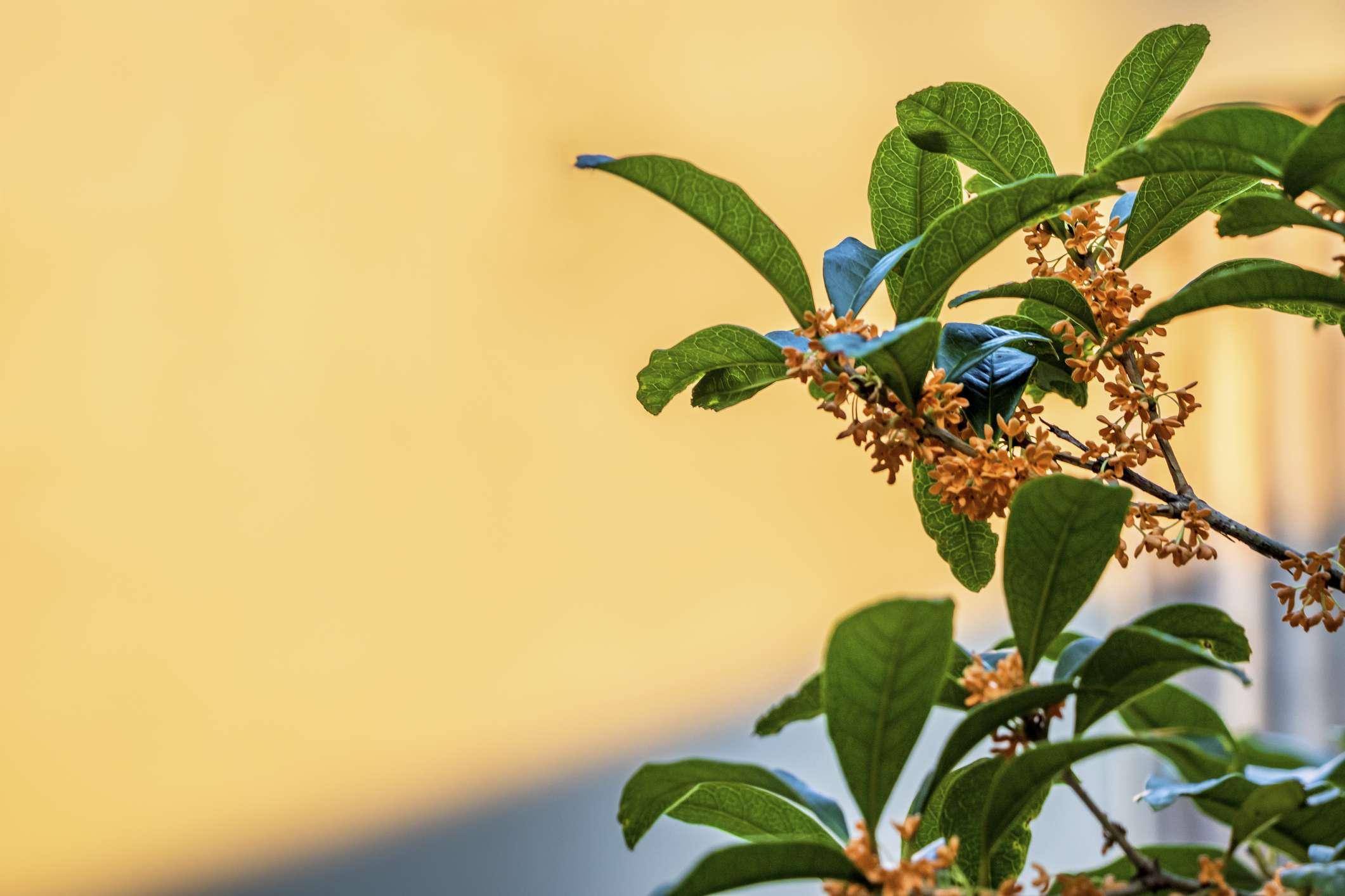 Tea Olive tree with orange flowers