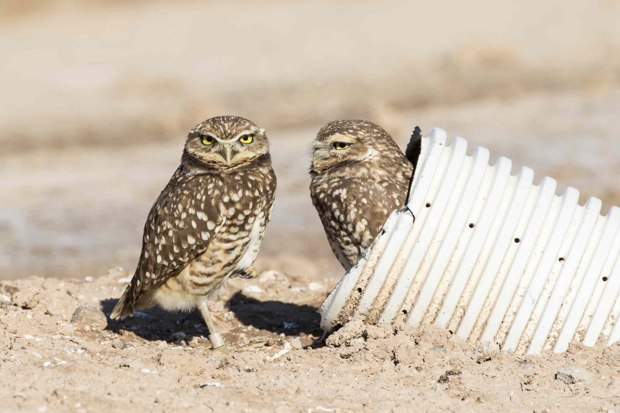 Two burrowing owls, one sticking out of a drainage pipe they made into a burrow