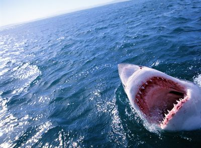 great white shark open pink mouth with pointy teeth