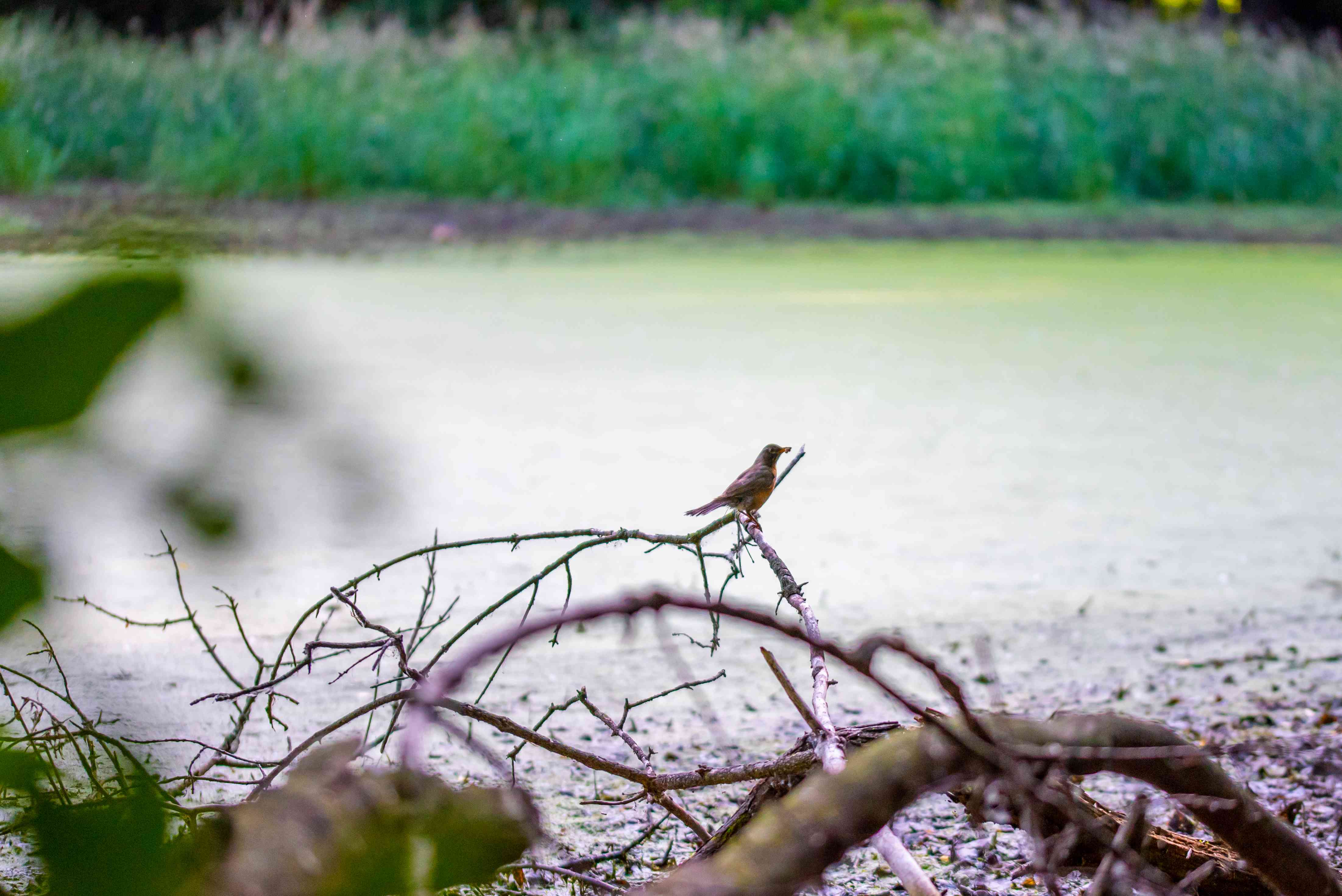 small brown bird sits on branch in foreground, blurred high grass behind