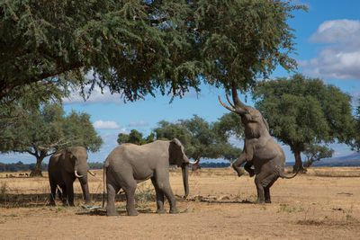 group of three elephants with one standing on hind legs to reach tree leaves