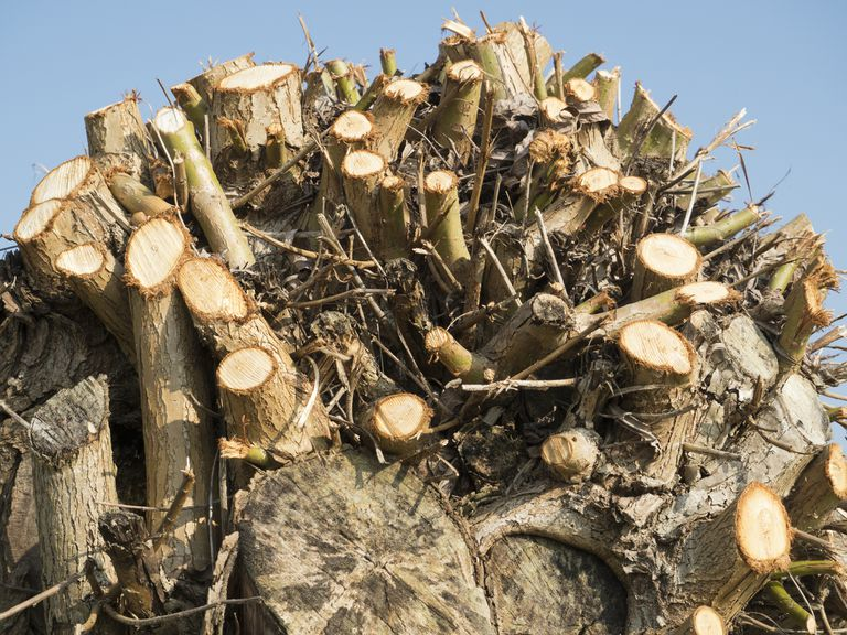 Close-up of a coppiced tree