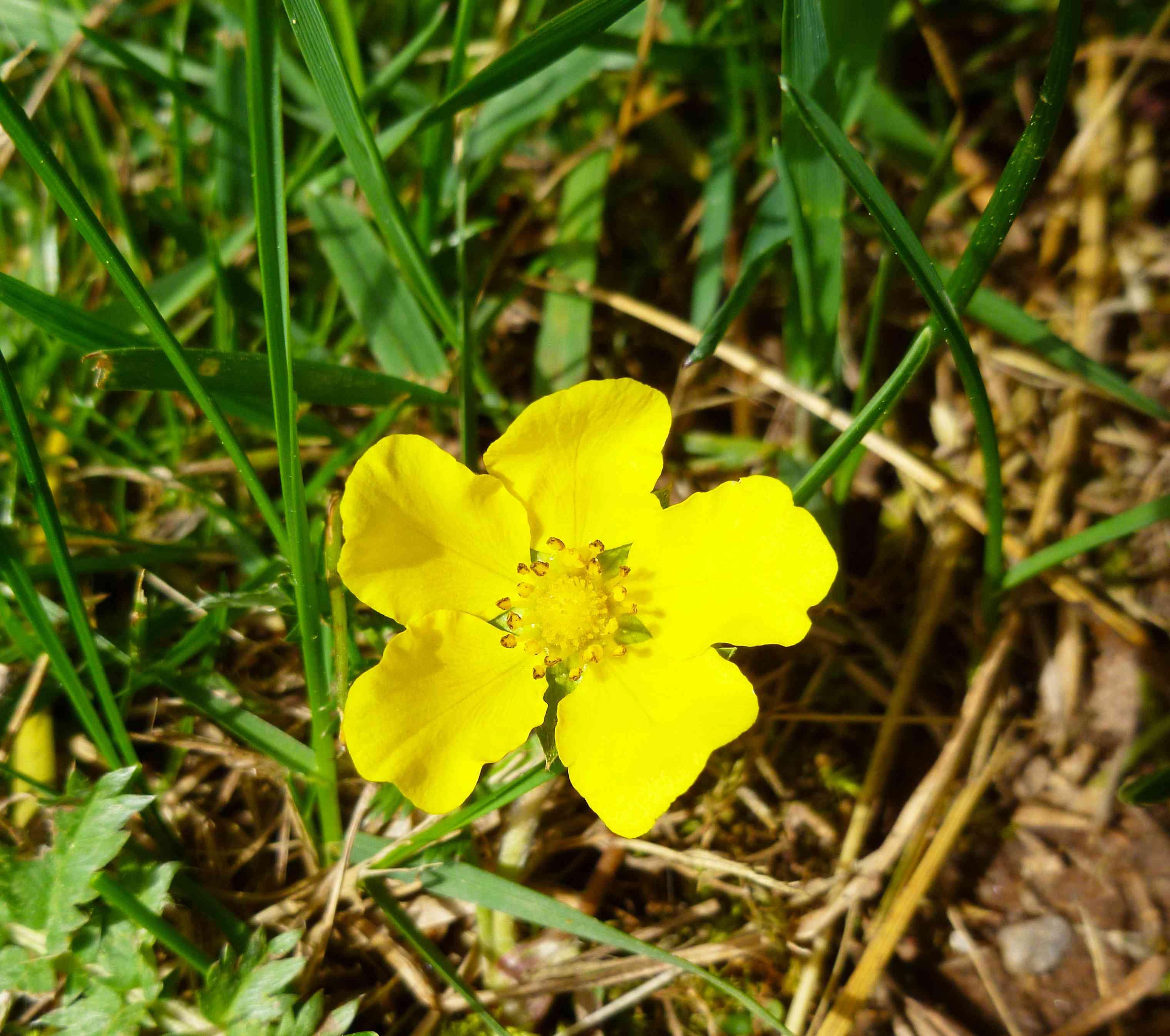 A buttercup in a field.