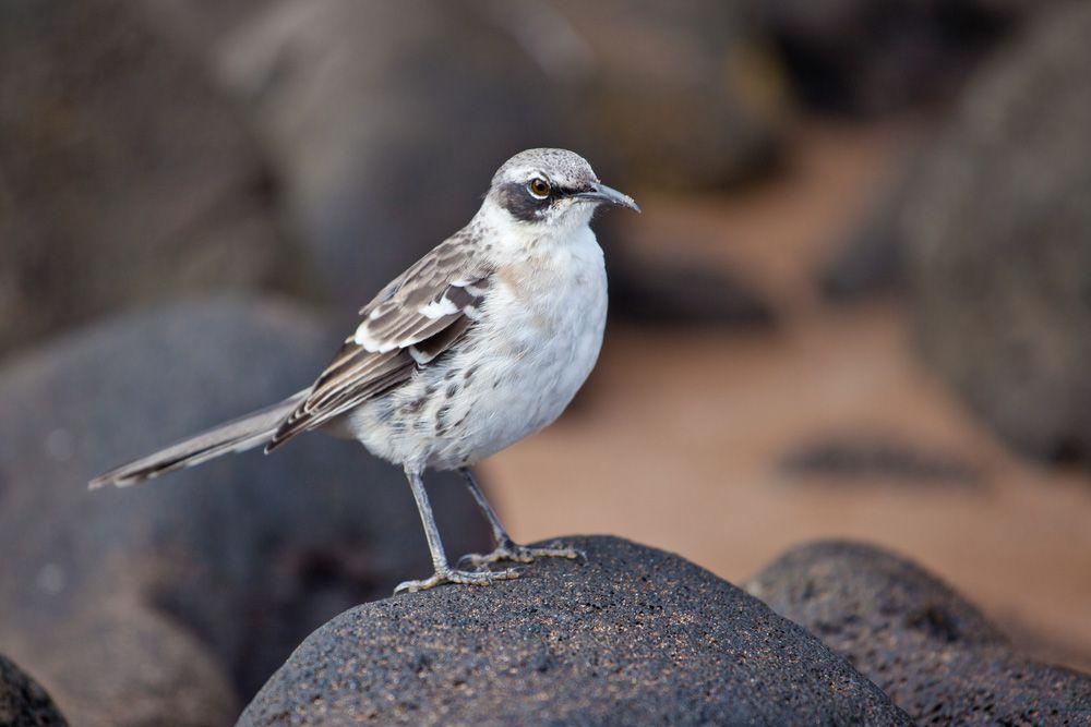 small white bird with dark grey and white wings, black mask, and small needlelike beak.