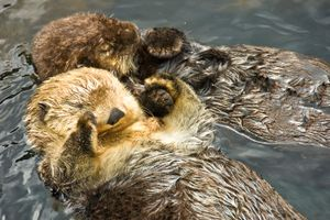 two otters floating on backs and holding hands to stay together