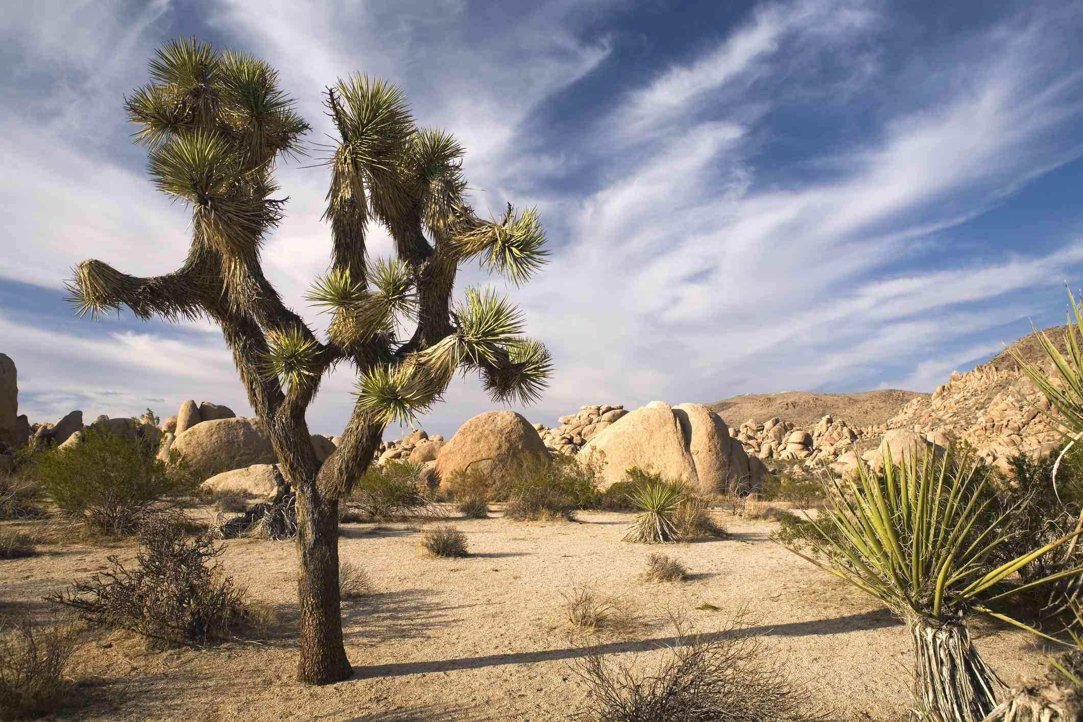 A Joshua Tree in an arid landscape
