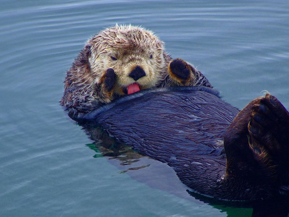 How Do Sea Otters Survive Icy Water Without Getting Hypothermia?