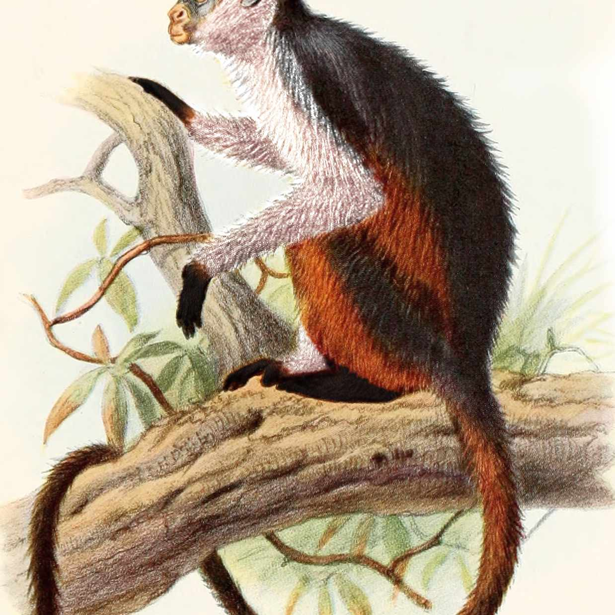 Illustration of the Niger Delta Red Colobus