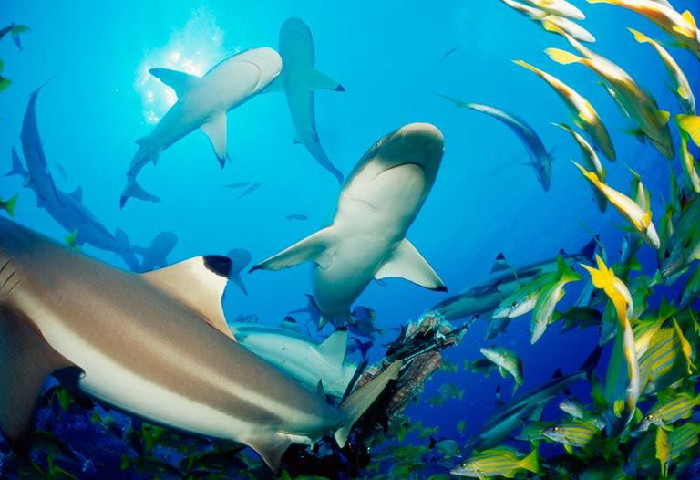 reef shark photo
