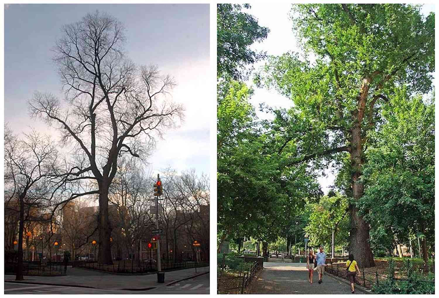 Hangman's Elm or The Hanging Tree in New York City's Washington Square in winter and in summer