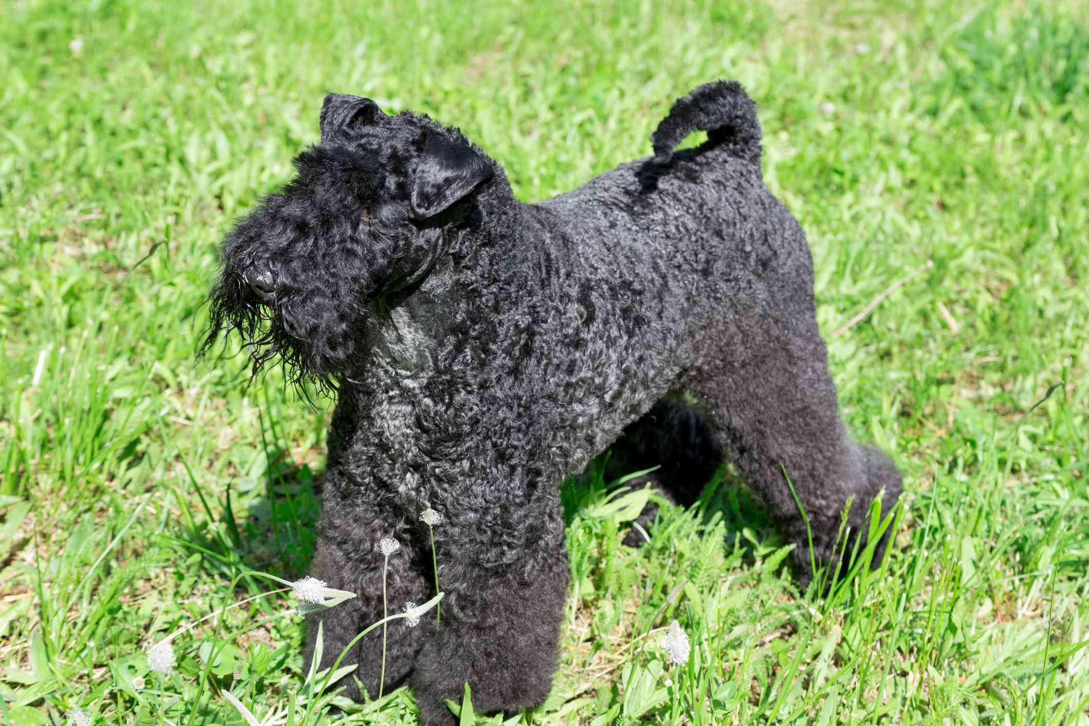 Kerry blue terrier standing in green grass