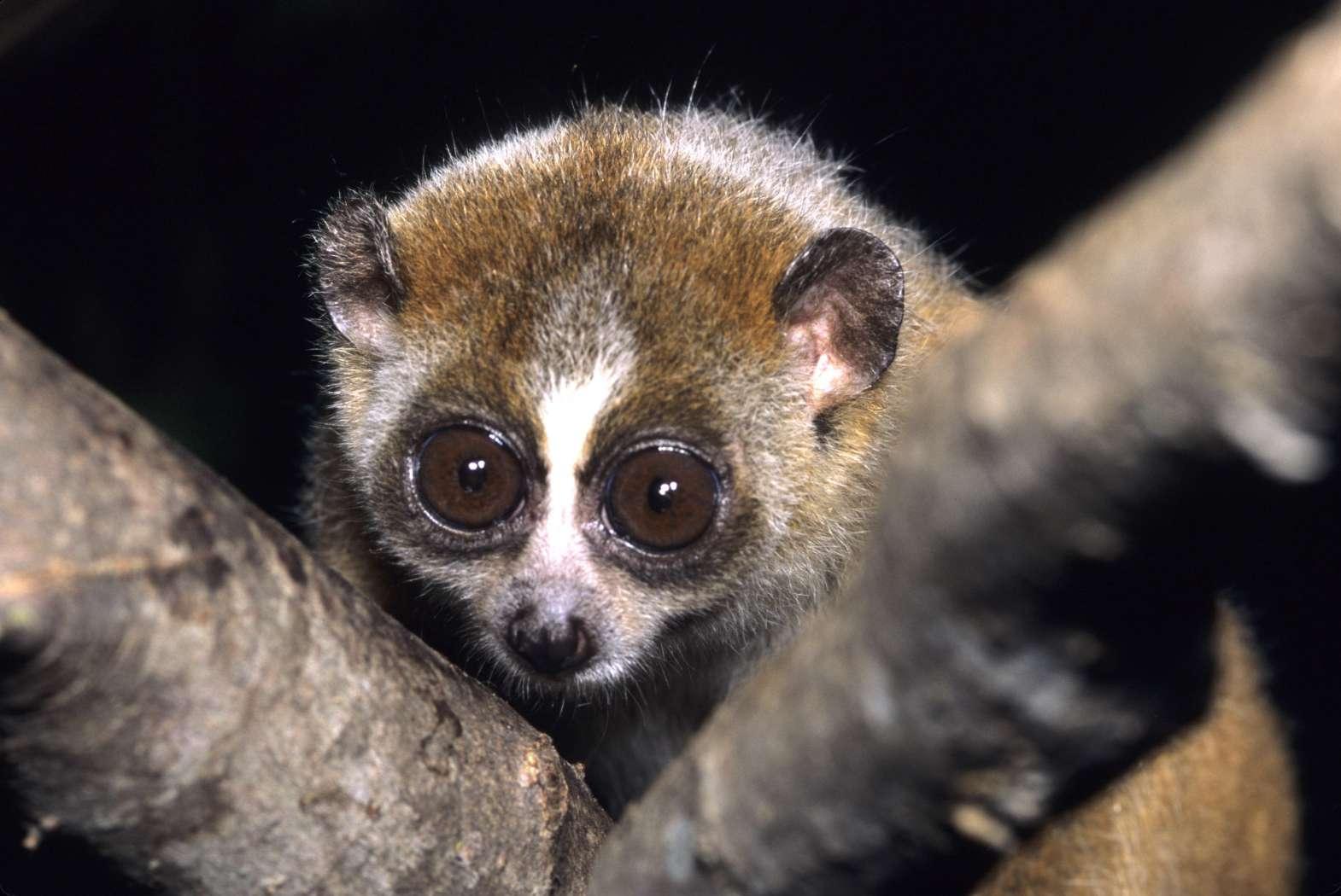 pygmy slow loris looks through branches in the dark