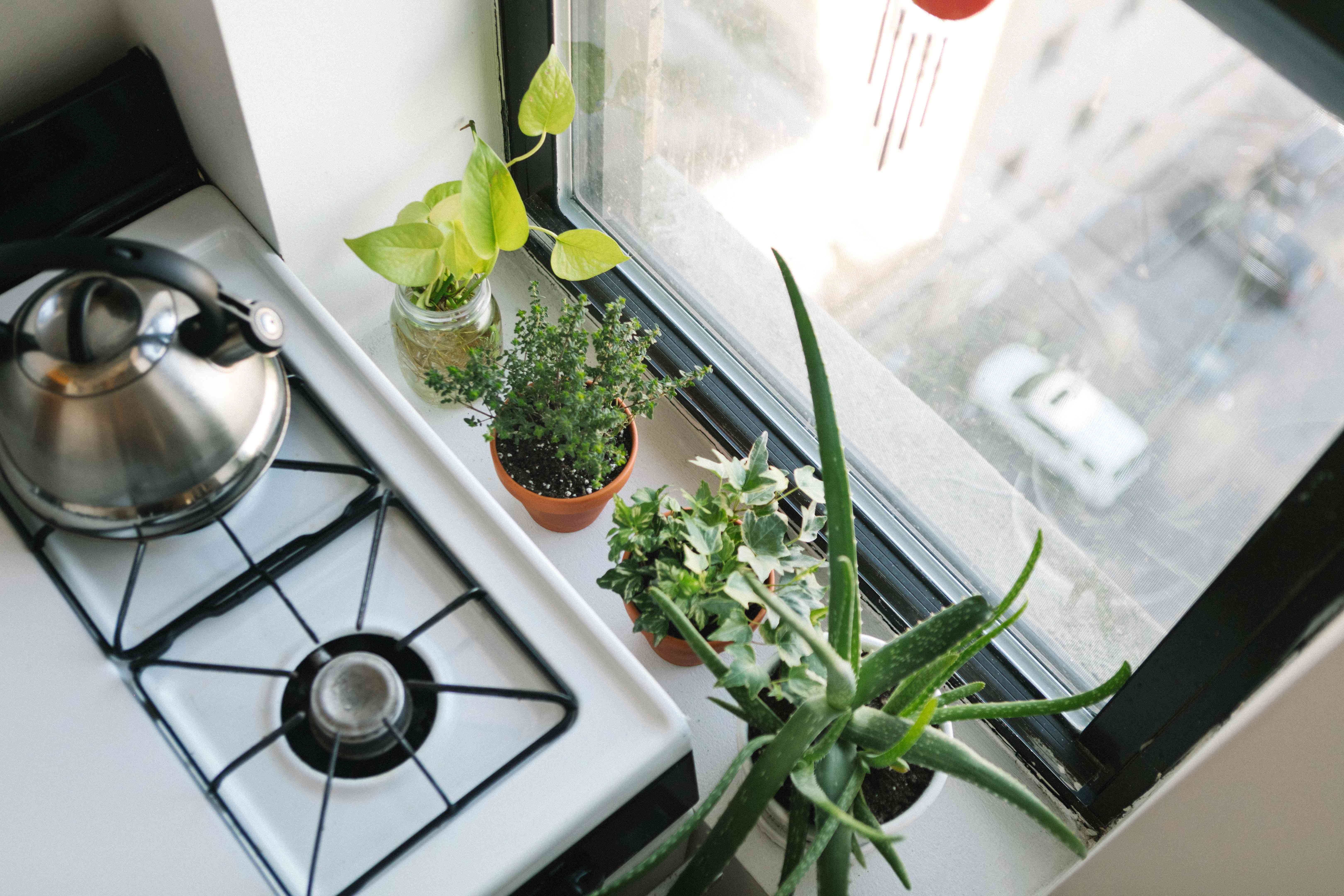 rosemary and other plants in kitchen near city window