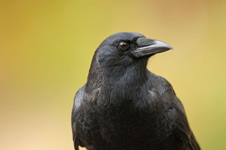 8 hechos asombrosos sobre los cuervos