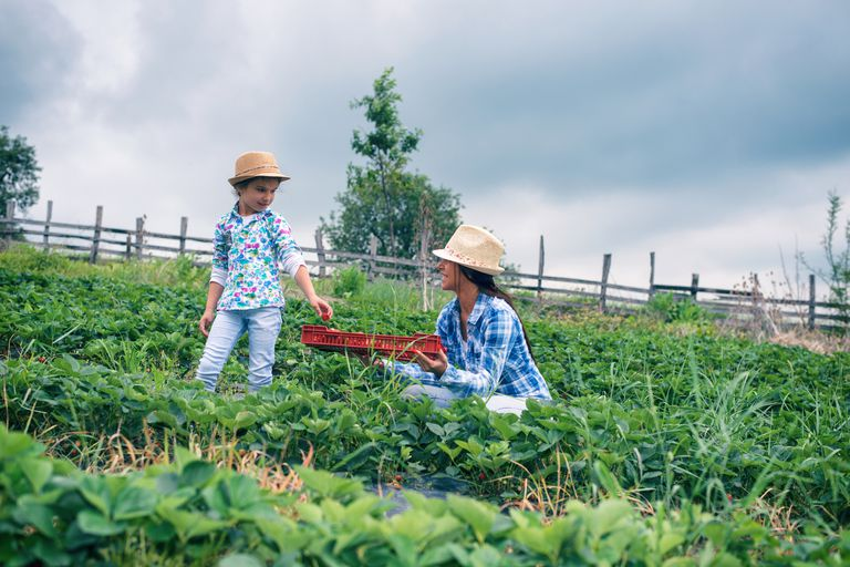 Woman and child harvesting strawberries.