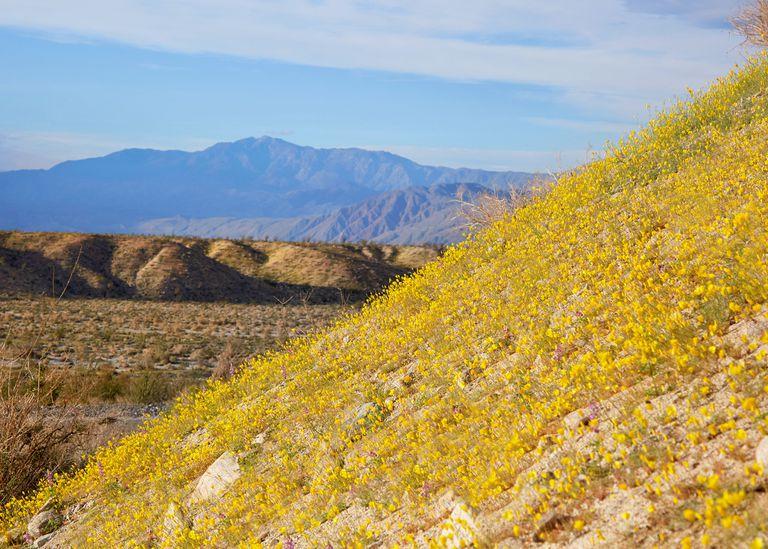 El desierto de California cobra vida con flores silvestres 'Superbloom'