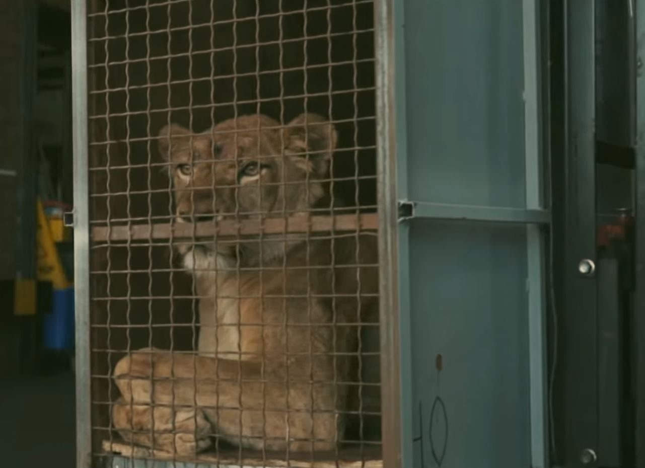 A lion being transported at an airport.