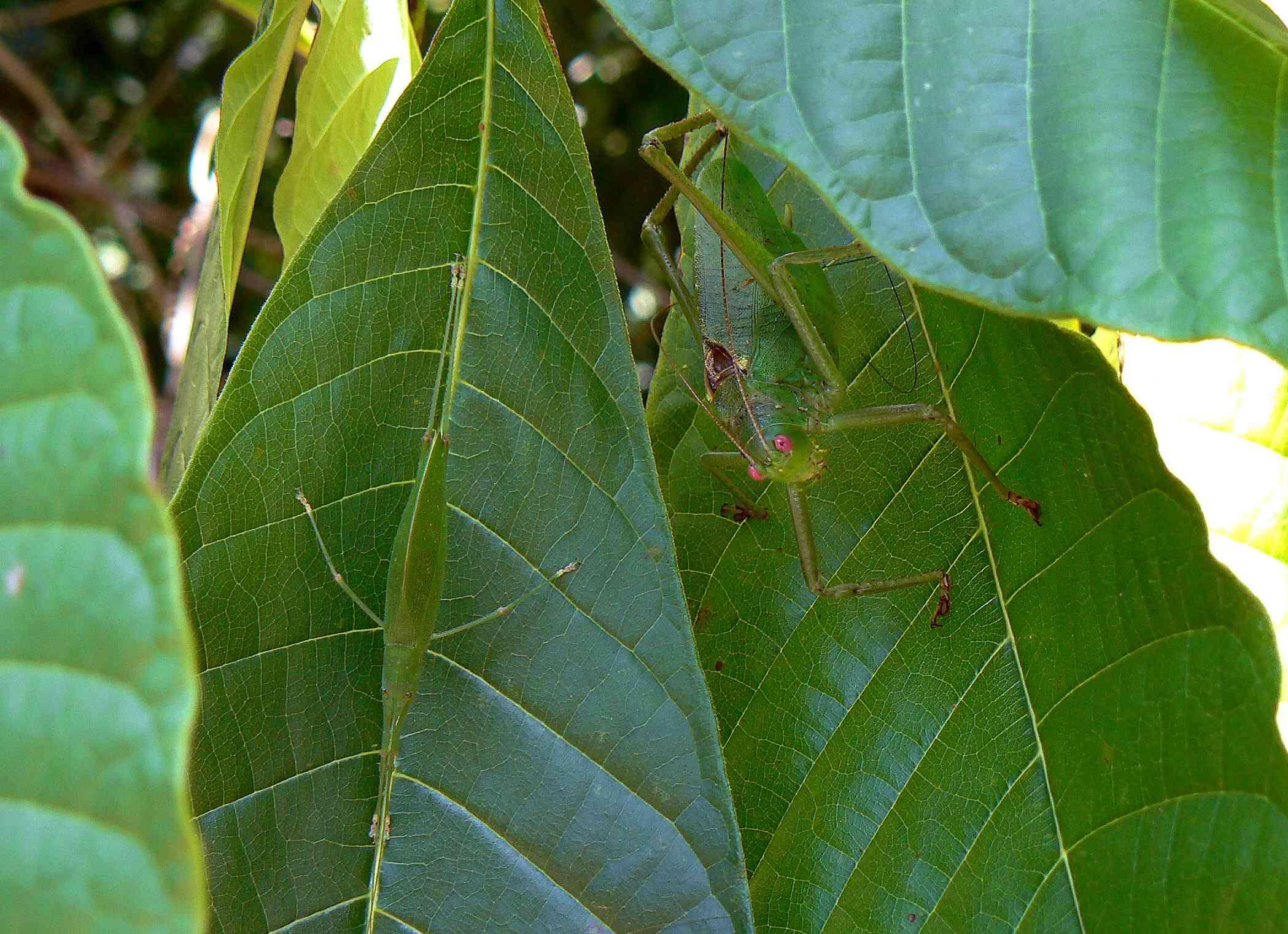 two green katydids perch on large green leaves