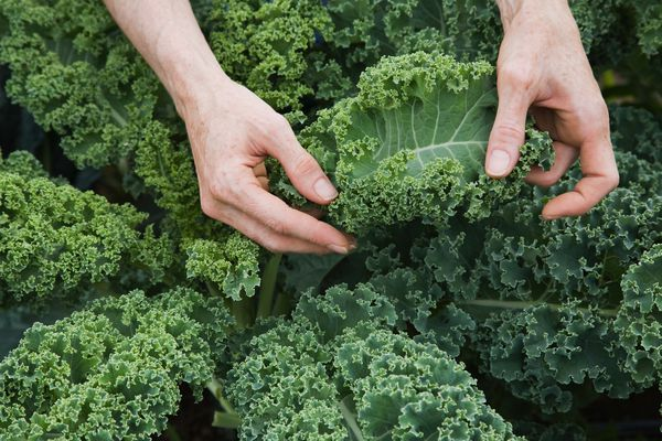 Farm worker inspecting organic kale leaves