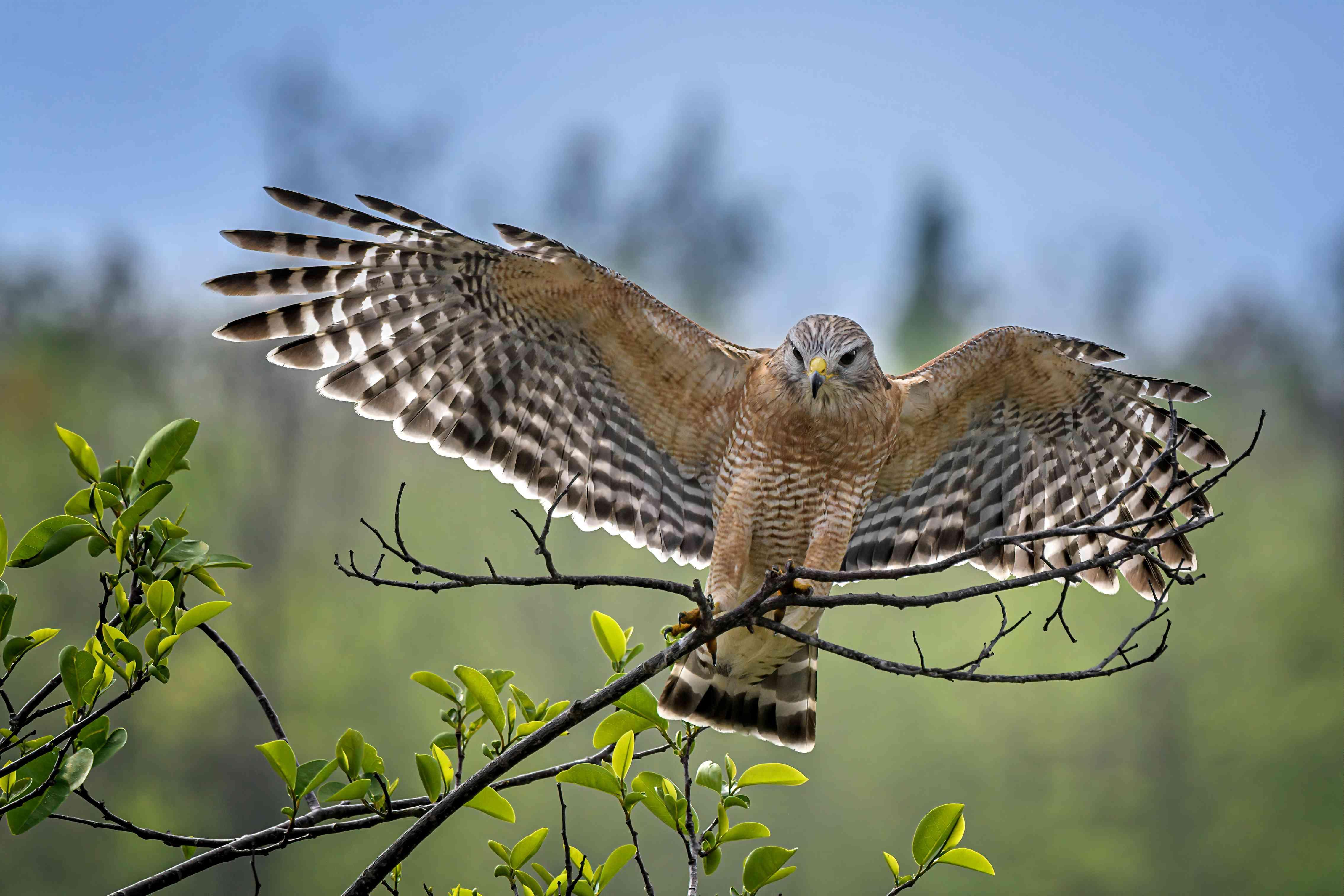 Red-shouldered hawk landing on branch in Green Cay Wetlands near Boynton Beach, Florida