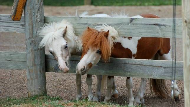 two mini horses stick their heads through the fence at Bee Haven acres