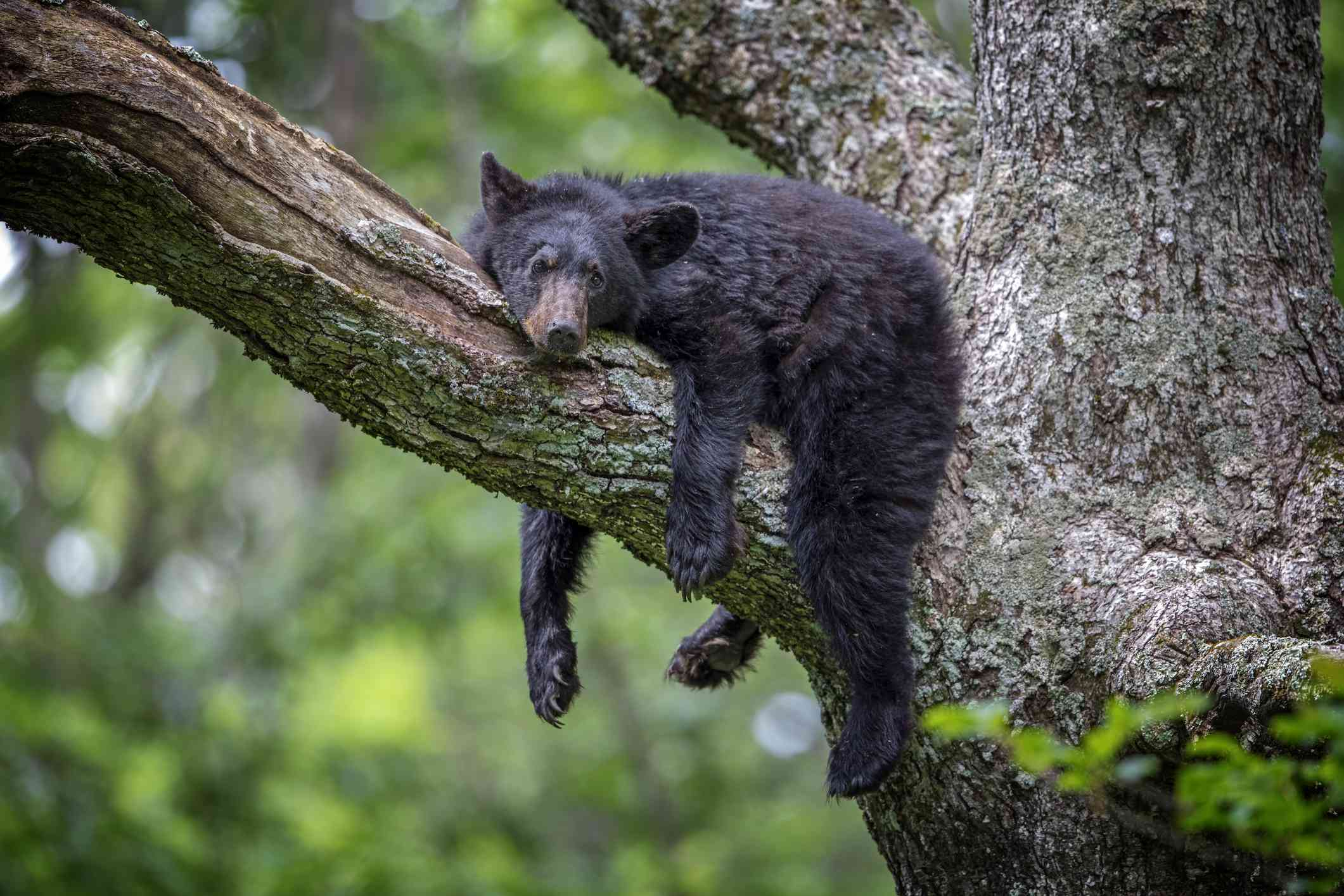 Black bears are great climbers and spend a lot of their time in trees