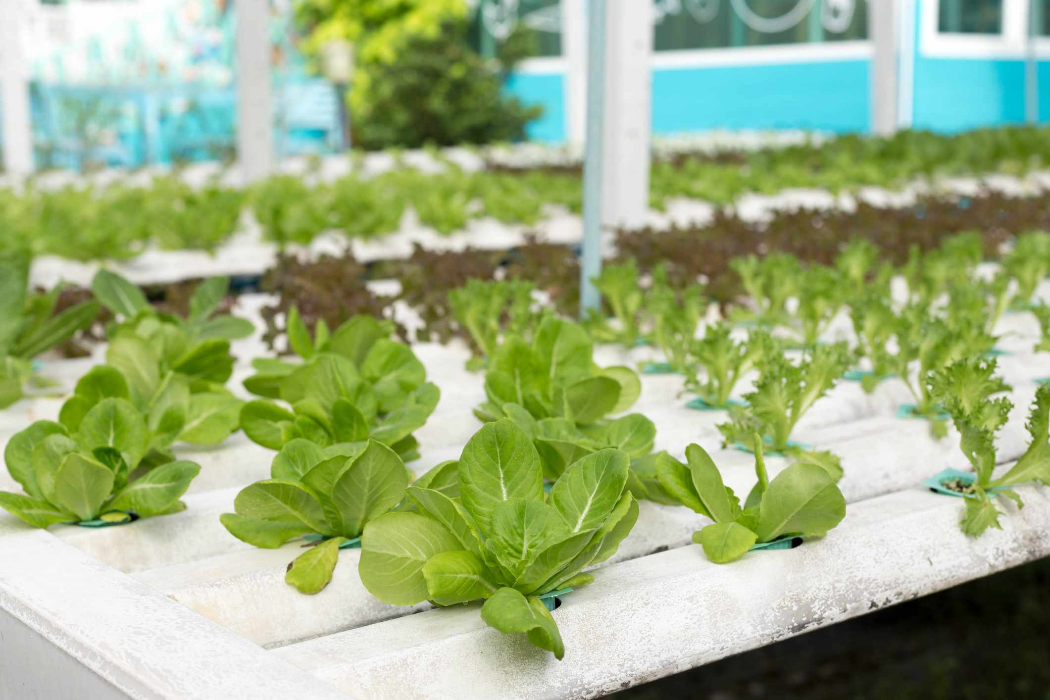 Growing spinach in an aquaponic garden