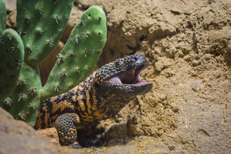Close-up shot of a gila monster under the cactus