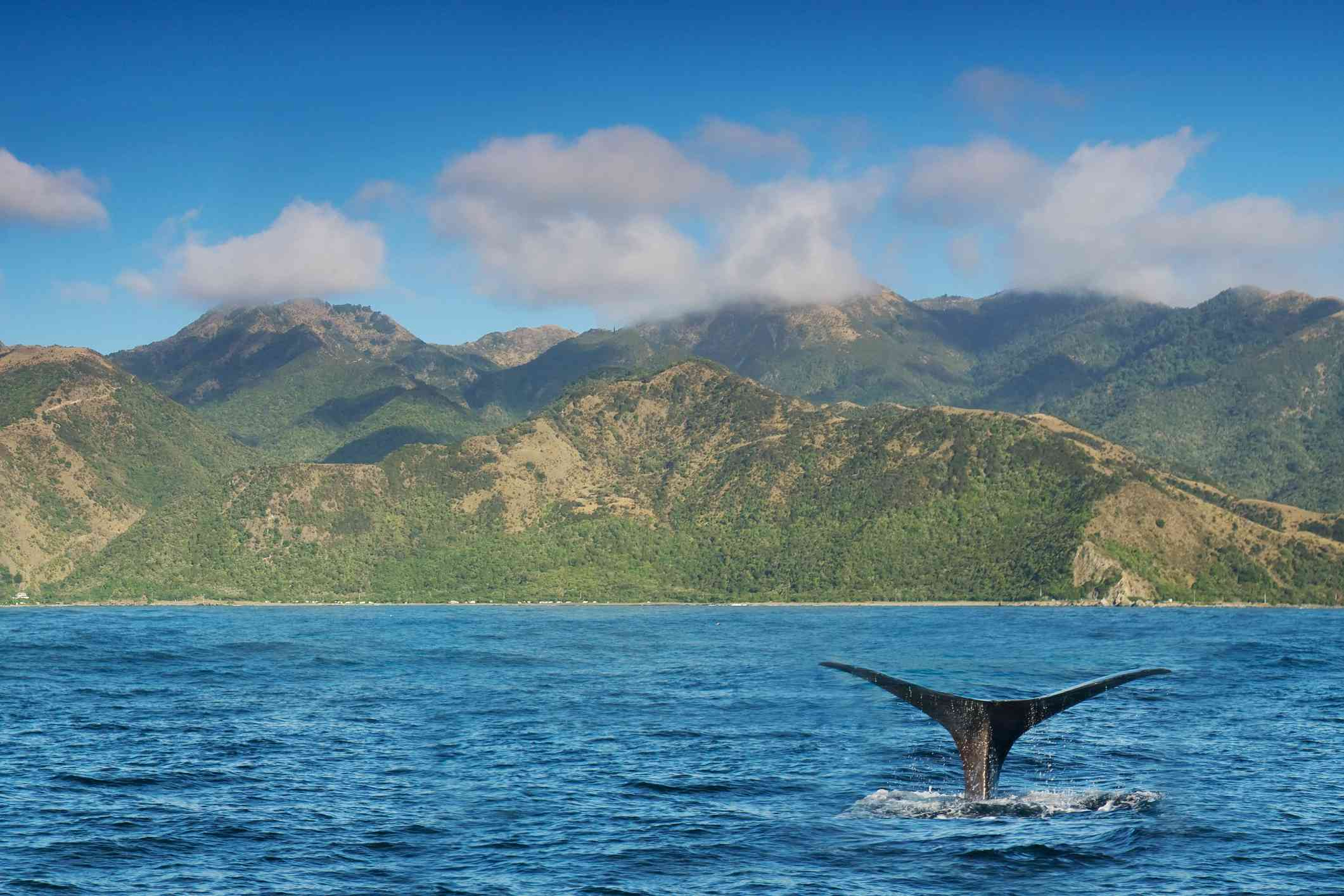 The black tale of a whale as it dives into the blue/green sea off the Kaikoura coast with rocky mountains covered with green vegetation and a blue sky and white clouds above