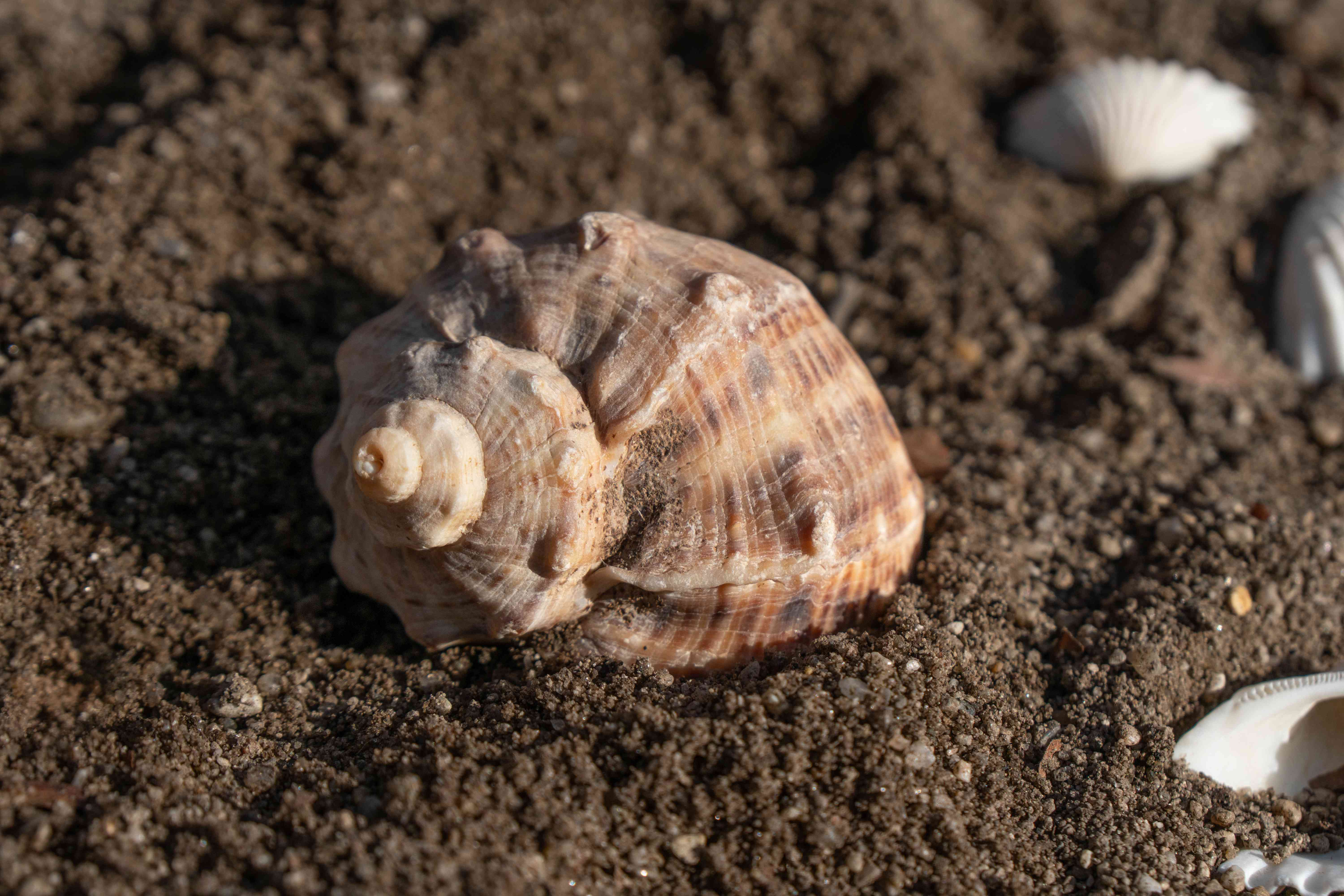 close shot of spiral shell nested in brown sand surrounded by other shells on beach