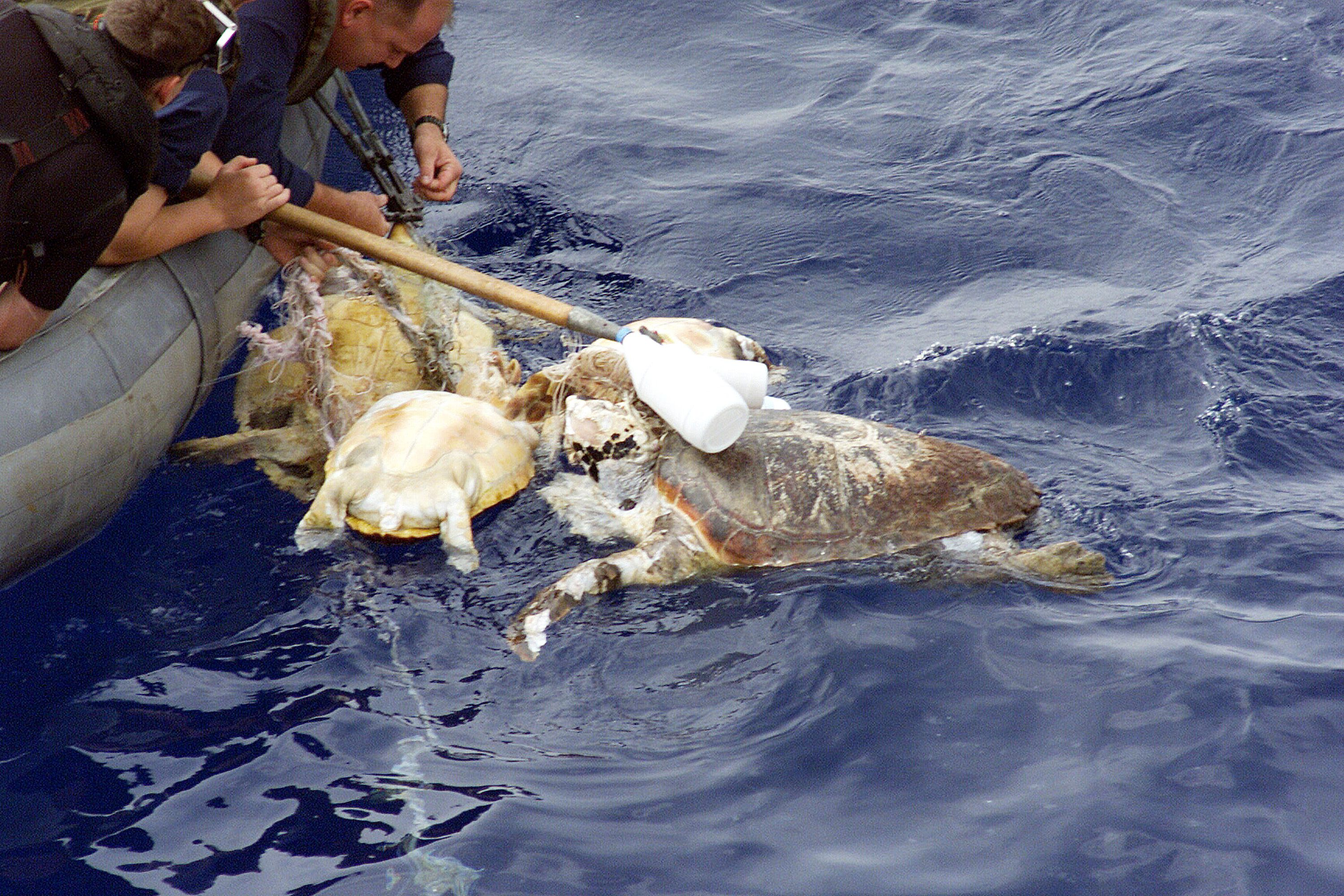 US Naval Personnel Rescue Entangled Turtle
