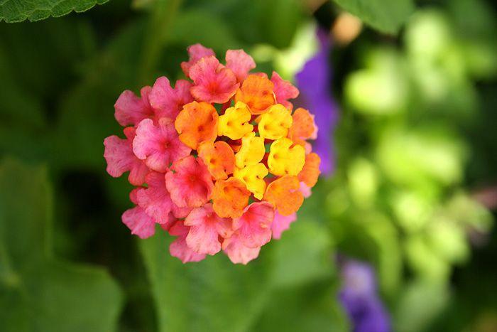 Lantana flower, Ramon Gonzalez