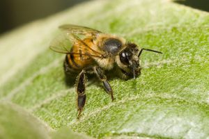 An Africanized bee lands on a green leaf.
