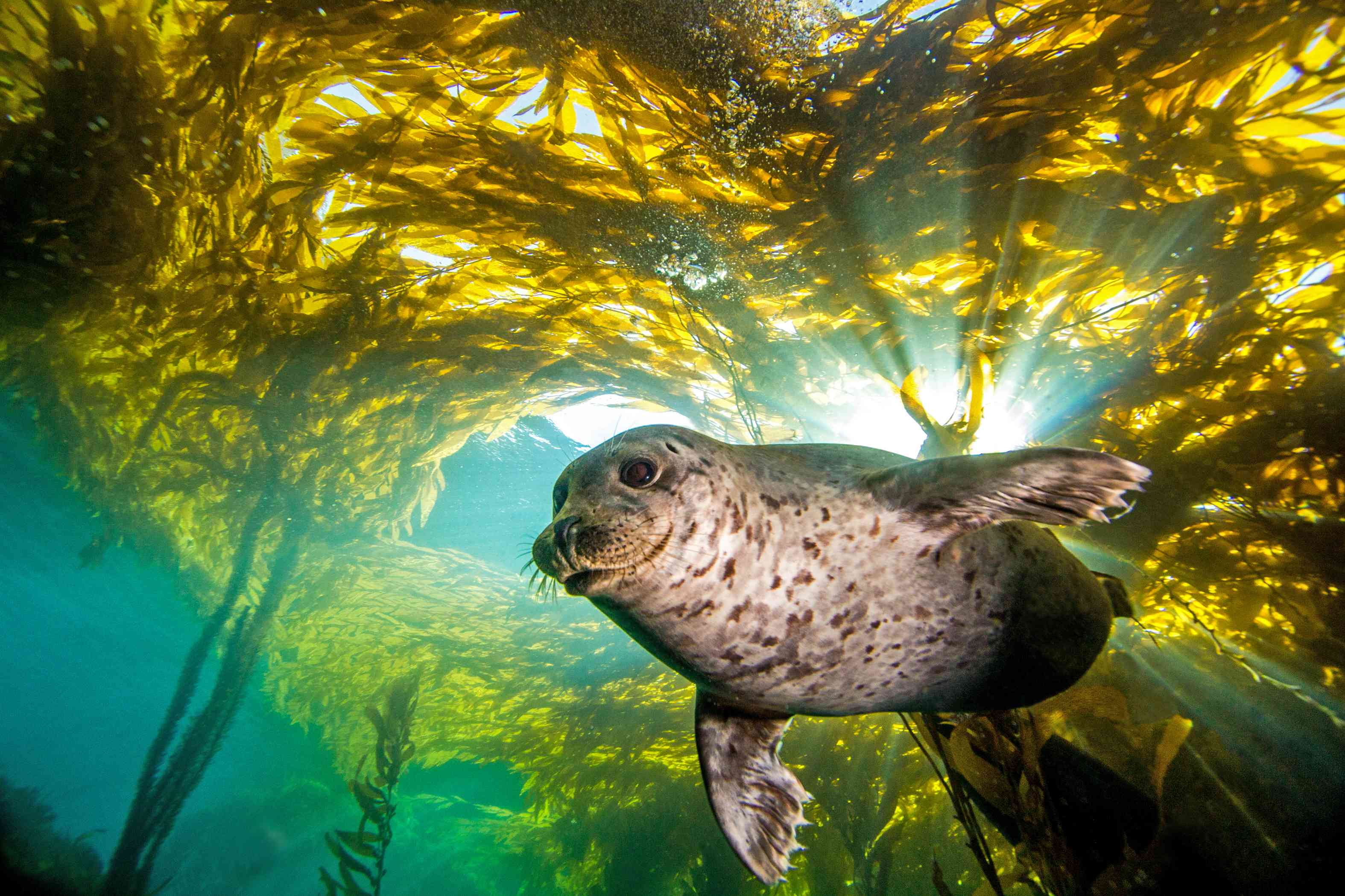 A harbor seal in a kelp forest.
