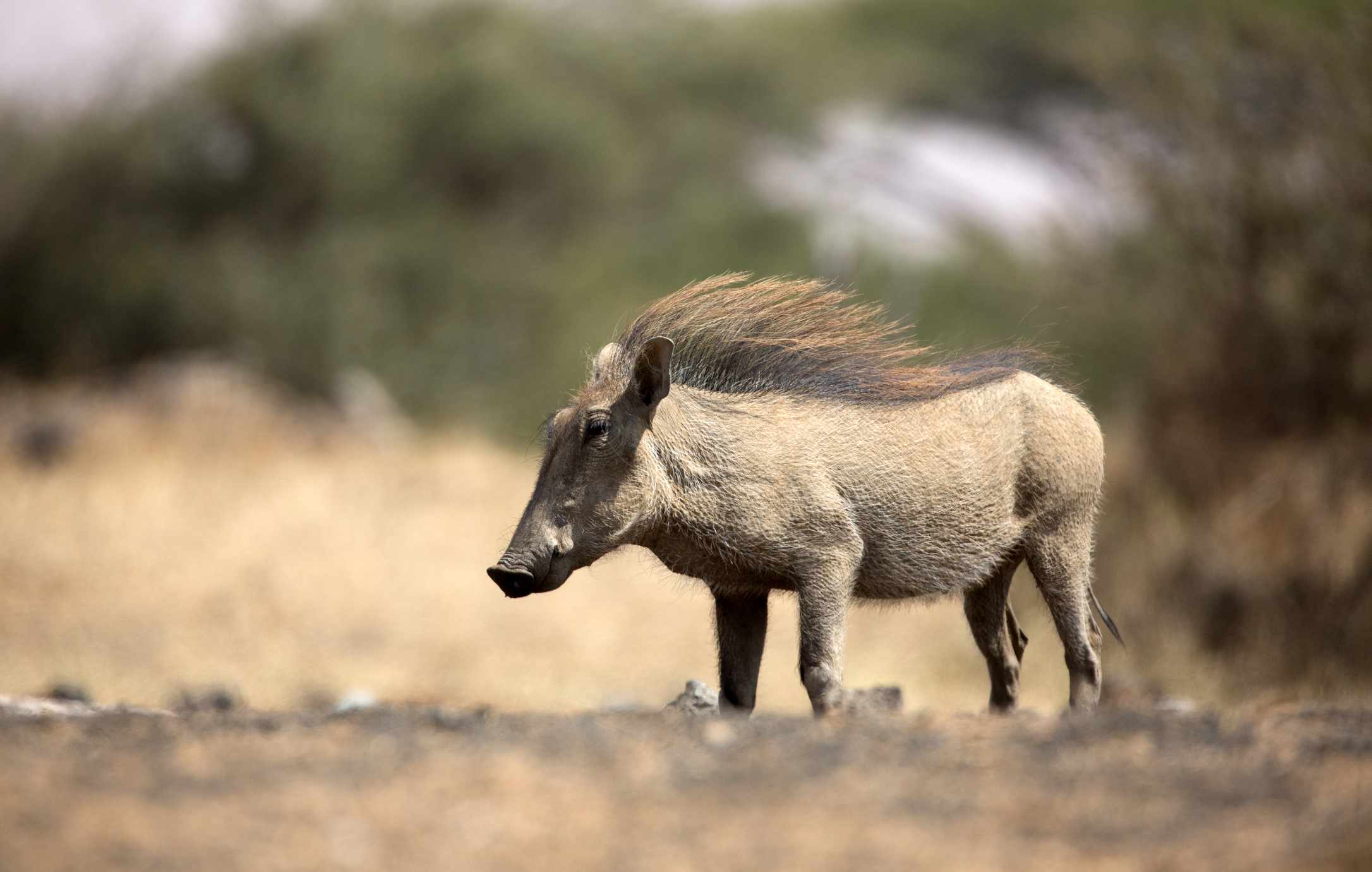 Profile of warthog with mane