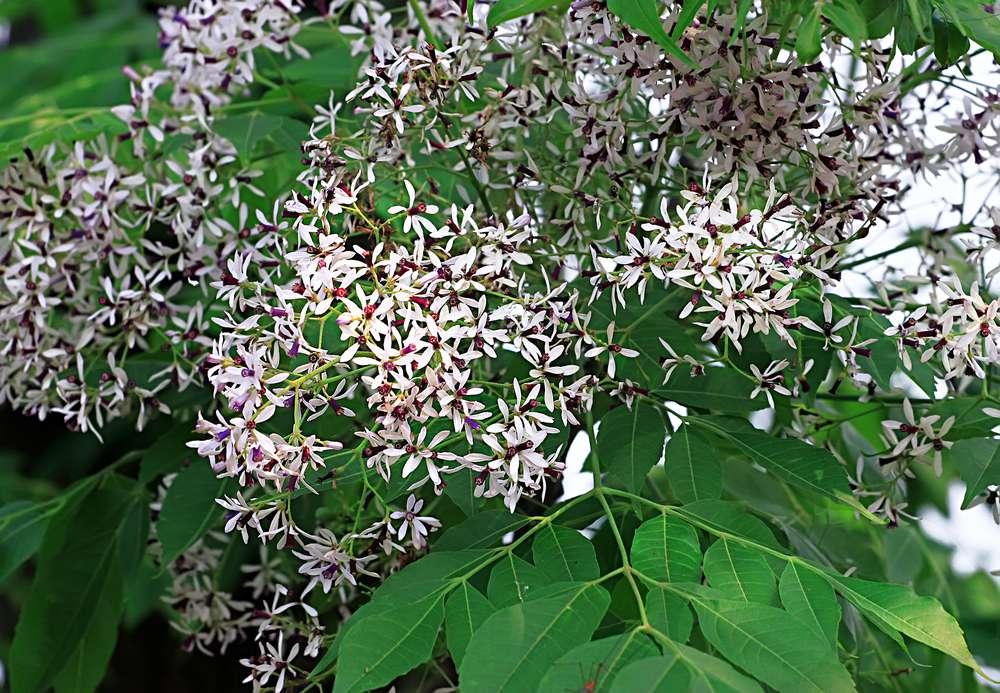 Melia azedarach in bloom