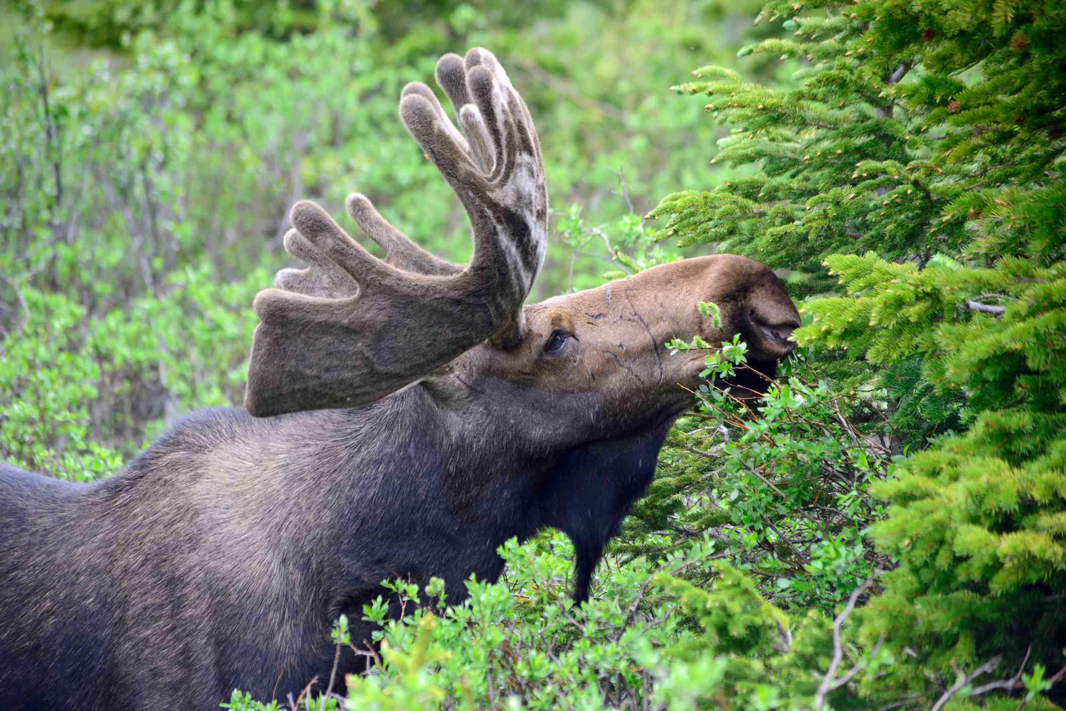 Moose Eating Plants