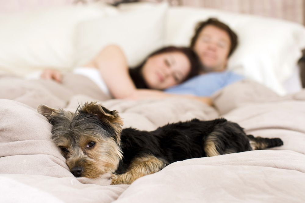 couple in bed with small dog