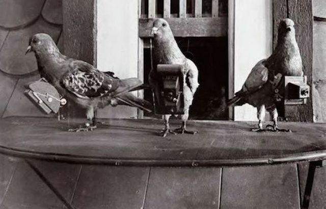 Pigeons carrying cameras photo.